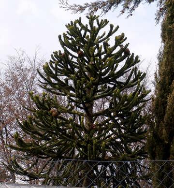 Exotic coniferous tree №50243