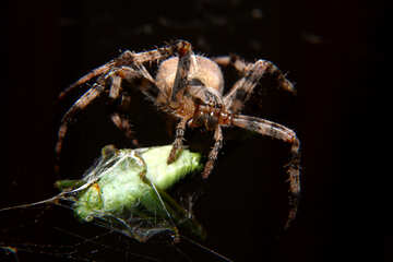 Spyder eating mantis №50662
