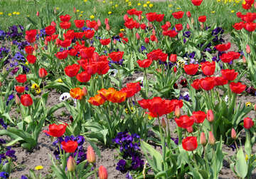 Flowers red and green field tulips №50502