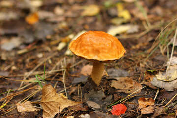 Mushroom orange in the forest №50614