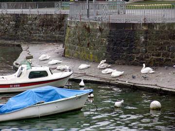 Birds on the Geneva waterfront №50154