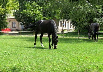 Two horses eating grass. №50837