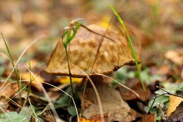 Leave mushroom №50624