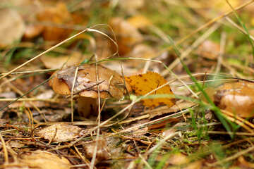Grass Mushroom leaves №50603