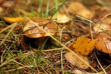 mushroom on the ground leave №50605