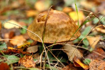 mushroom in the leaves №50623