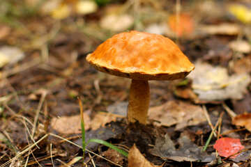 Orange Mushroom №50574