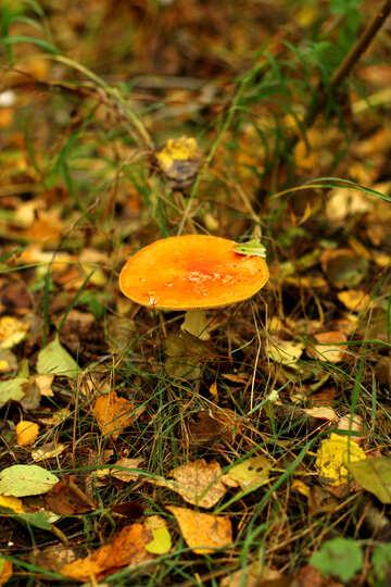 orange Trinity Mushroom №50599