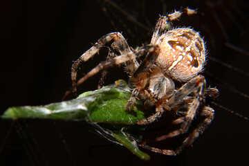 Spider bright №50659