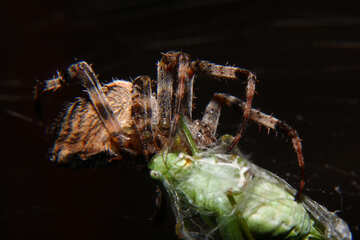 A spider eating another bug. №50665