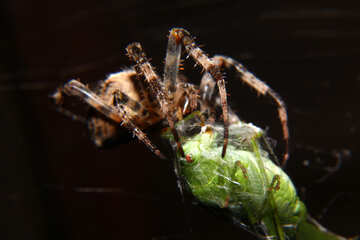 Spider insect №50664