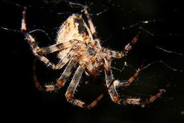 Spider №50653