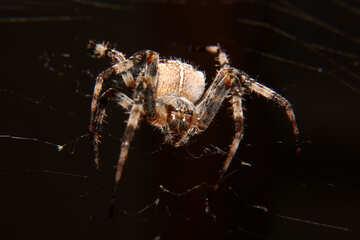Spider №50654