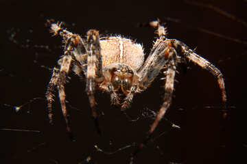 Spider №50655