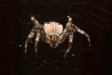 spider №50656