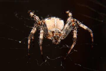 Spider №50657