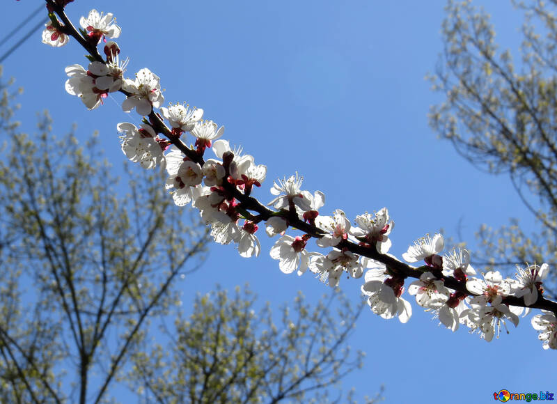 Цветущие цветы №50335