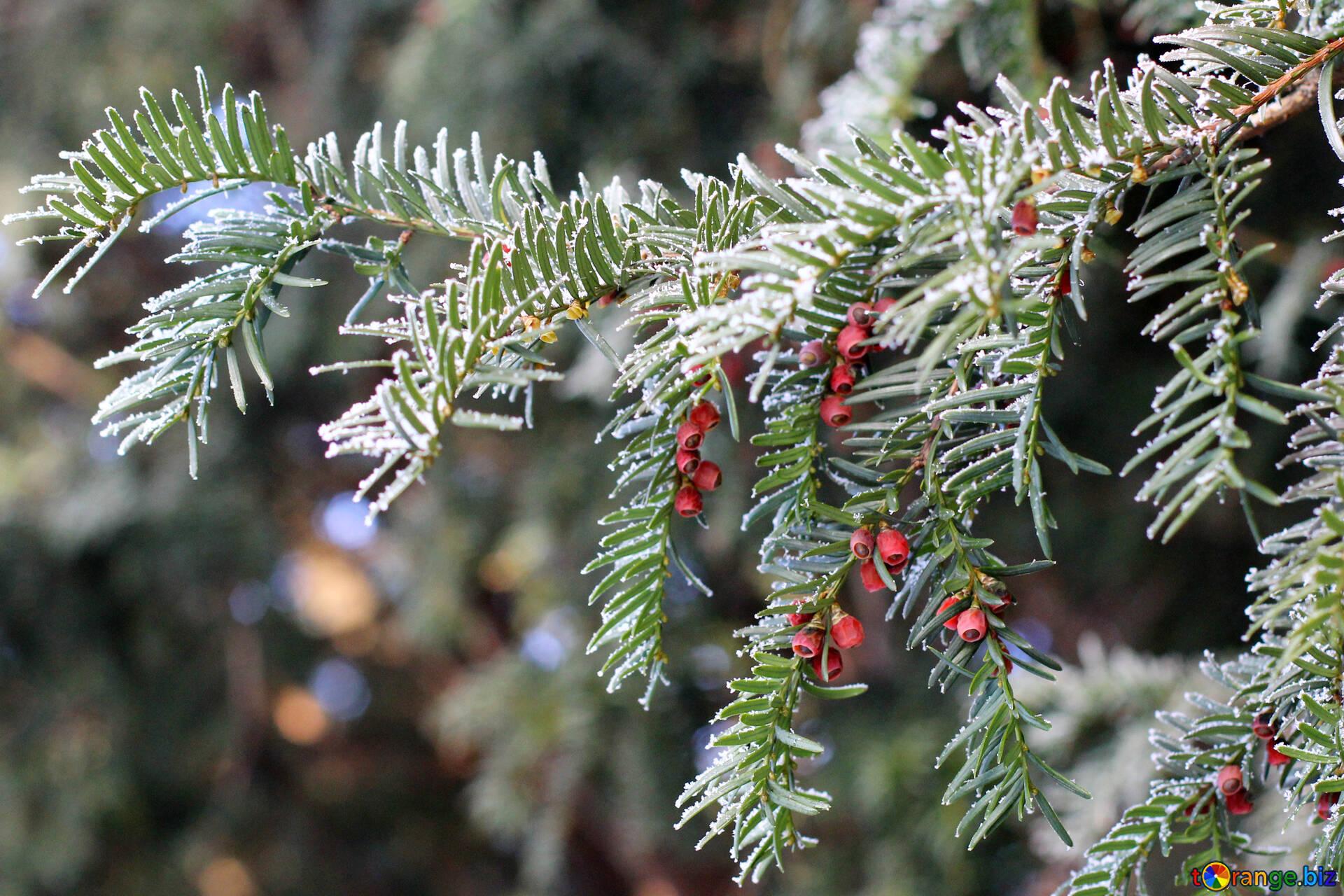 Albero Con Bacche Rosse fir-ago un albero di pino con bacche rosse aghi di pino № 51435
