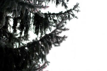 Pine tree and white background №51333