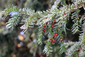 A pine tree with red berries №51435