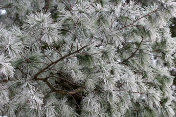 pine tree in winter №51340