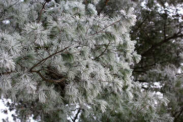 Pine  tree full of snow branches №51341