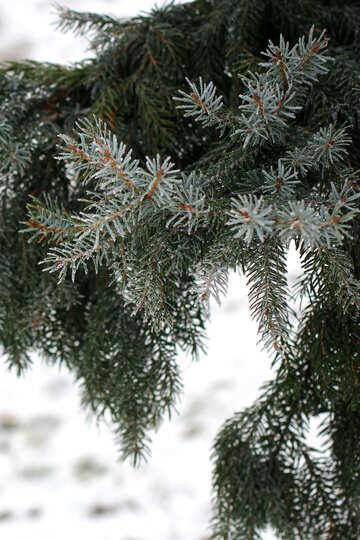 Fir tree №51337