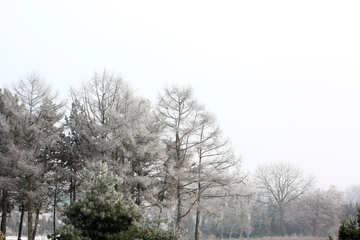 cold forest pine trees №51361