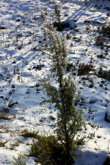tips of green grass poking through snow №51446