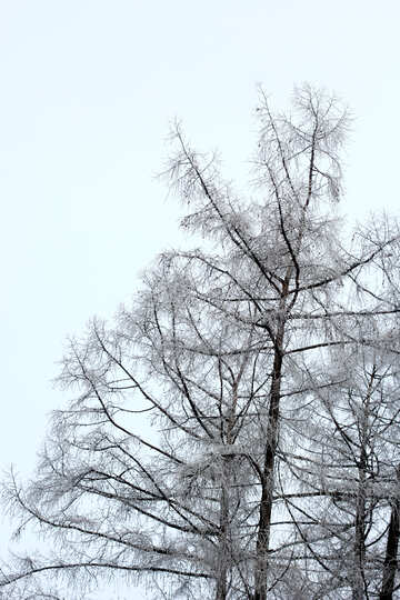 Winter tree with sky without leaves white №51318