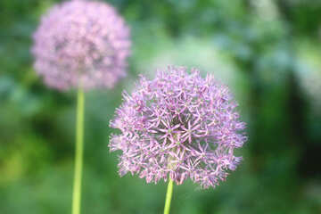Purple puffball flowers dandelions