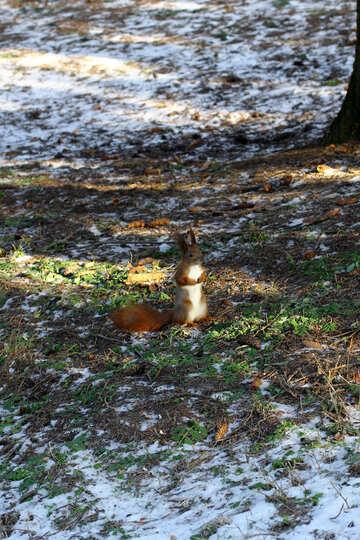 Ein Eichhörnchen auf schneebedecktem Boden №51470