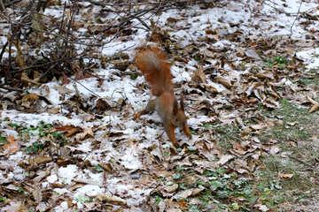 Ein orange Eichhörnchen fallen Blätter springen springen №51321