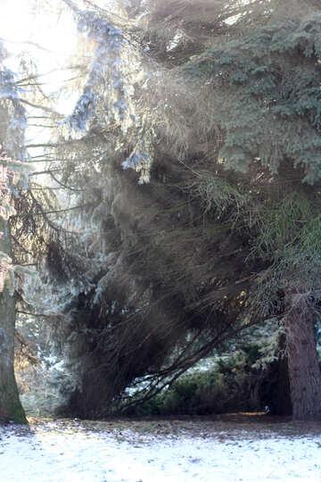 Snowy trees and sun rays №51472