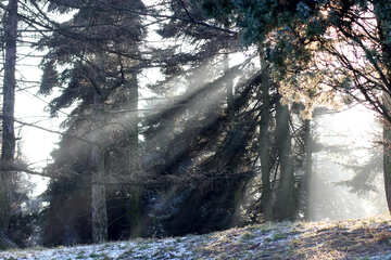 Trees winter forest sunlight tree №51490