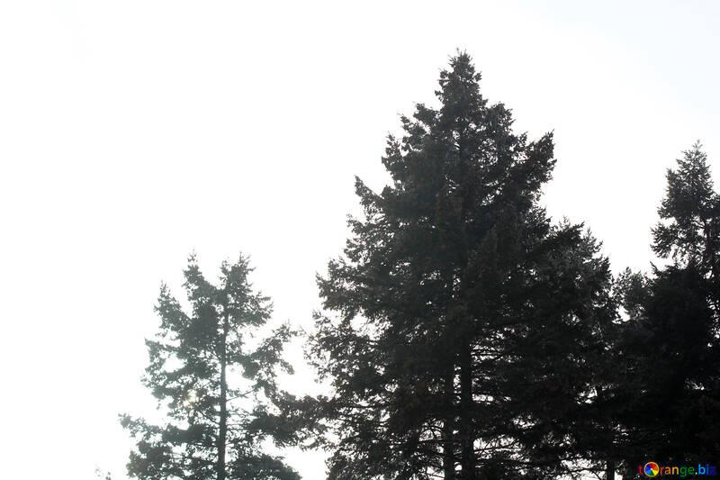 Forêt De Conifères Photo Darbre De Noël Noir Et Blanc Fanée