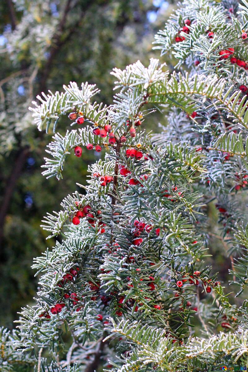 Albero Con Bacche Rosse fir-ago albero coperto di neve con bacche rosse aghi di pino