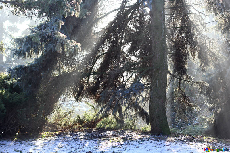 Magic Winter  Forest №51468