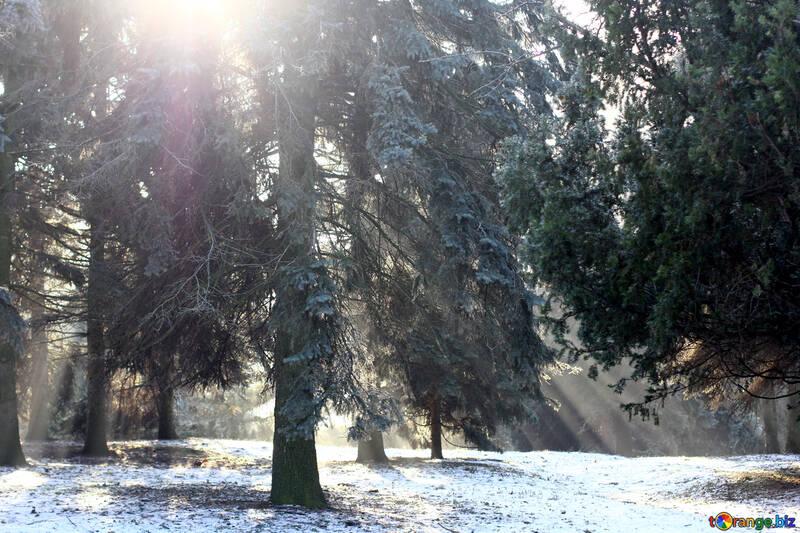 beauty winter snowy forest trees №51477