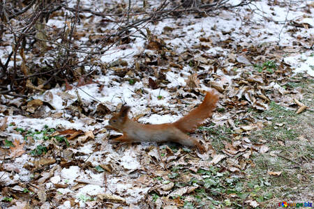 Long eared squirrel running into winter frost playing in leaves №51322