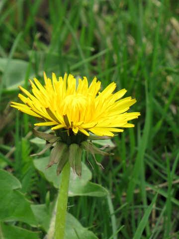 A Yellow dandelion citi Flower №52400