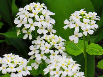 Pianta fiori bianchi №52476
