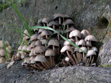 Mushrooms on stone №52130