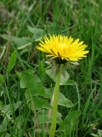 Flower dandelion yellow №52401
