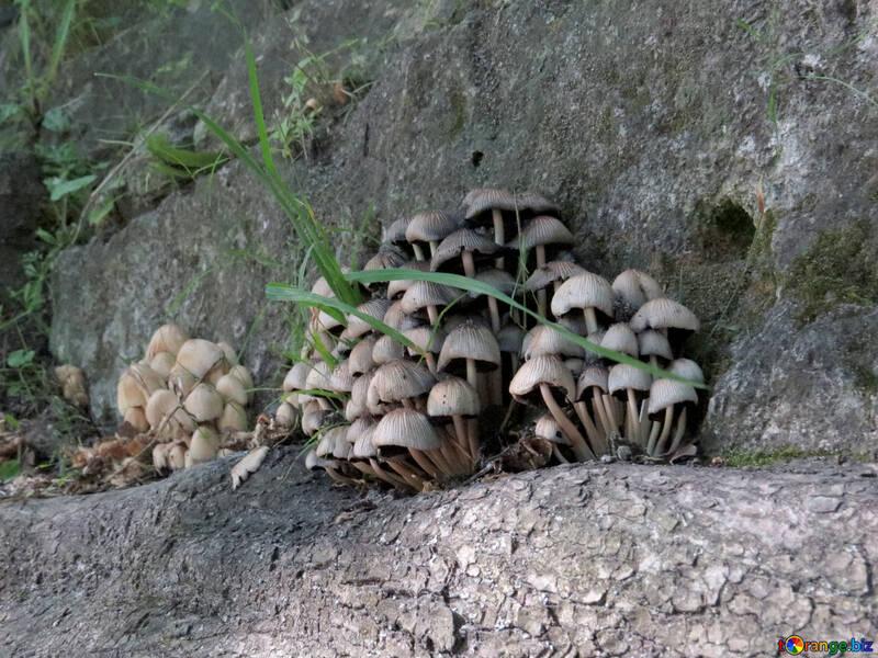 mushrooms on rocks №52129