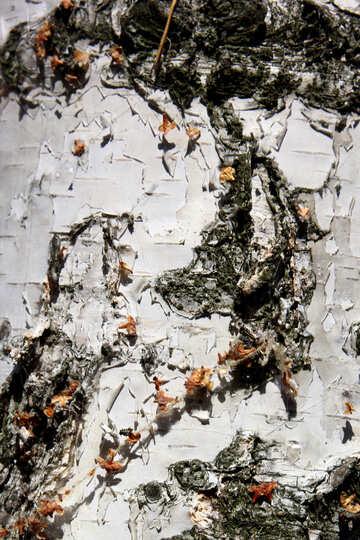 Corteccia di legno di betulla №53330