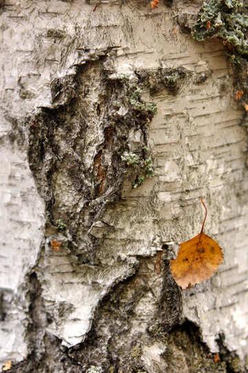 Progettazione e alberi di corteccia foglia secca №53309