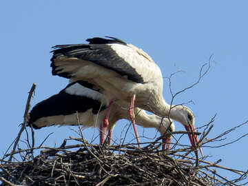 two bird storks in this nest №53205