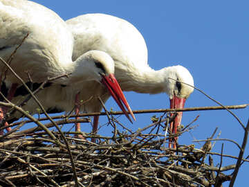 Storks birds in nest №53208