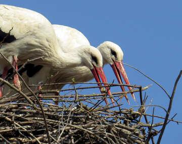 Due uccelli che costruiscono un nido di cicogne №53210